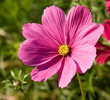 Delicate pink Cosmea by kullnat
