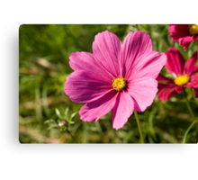 Delicate pink Cosmea Canvas Print