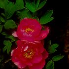 Red Peony by Janos Sison