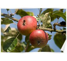 Two red apples Poster