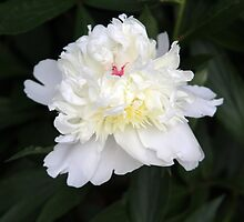 White Peony 3 by Dennis Melling