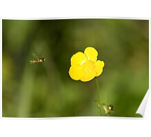 Buttercup and hover fly Poster