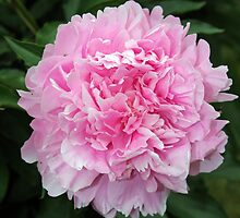 Pink Peony  (Paeonia) by Dennis Melling