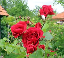 Roses in Our Romanian Country Cottage Garden by Dennis Melling