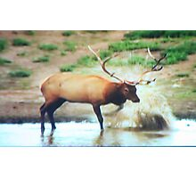 Elk Water Stomping Photographic Print