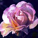 Peace Rose by George Hunter