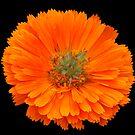 orange flower by maureenclark
