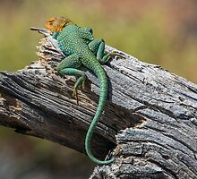 Collared Lizard by CarolM