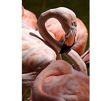 San Diego Flamingo Photographic Print