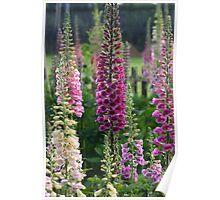 Cottage garden - Foxgloves Poster