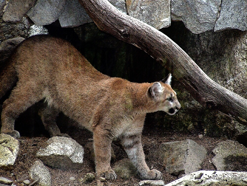 I Believe Mountain Lions Roam New Hampshire's Wild Places by Wayne King