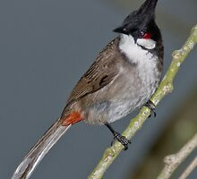 Red-Whiskered Bulbul by David Clarke