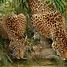 pair of Jaguars by dc witmer