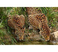 pair of Jaguars Photographic Print