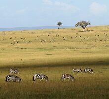 Zebras on the savanah by Yves Roumazeilles