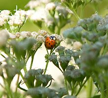 Ladybug on Common Water Parsnip by Mike Oxley