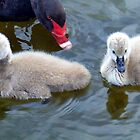 Cygnets 2 by Paul Todd
