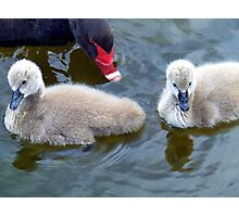 Cygnets 2 Photographic Print