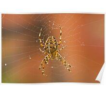 Garden spider, Araneus diadematus Poster