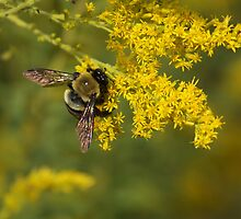 Bumble Bee by Lisawv