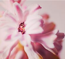 pink hyacinth flower petals by faithie