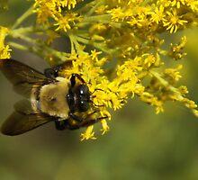 Bumble Bee III by Lisawv