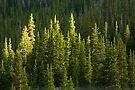 Spotlit Pines by Jan Cartwright