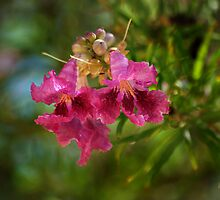 Desert Willow by Vicki Pelham