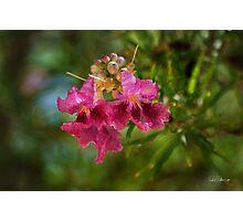 Desert Willow Photographic Print