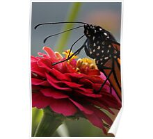 Zinnia and Monarch Macro Poster