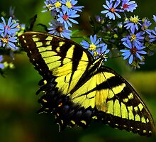 Giant Yellow Swallowtail  by John Absher