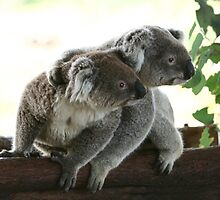 2 koalas together looking at the same place by yelys