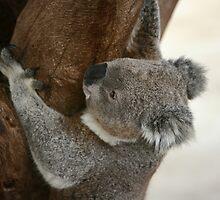 Climbing koala by yelys