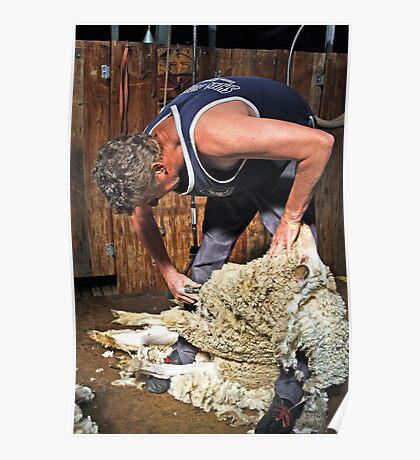 Sheep shearing at Shear Outback Poster