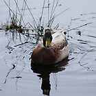 Like water of a ducks back... by wilsonsz