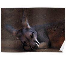 Napping Kanga Poster