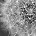 Dandelion Clock Detail by jcwdesigns