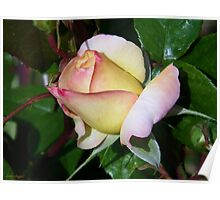 A single rose bud Poster