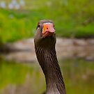 Duck by dhphotography