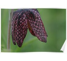 The chequered pattern of the snakes head fritillary Poster