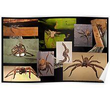 Huntsman Spiders Poster