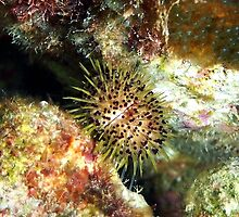 Jewell Sea Urchin on a Coral Reef by Amy McDaniel