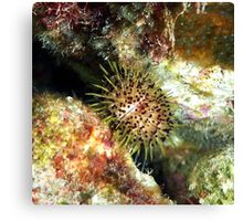 Jewell Sea Urchin on a Coral Reef Canvas Print