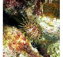 Jewell Sea Urchin on a Coral Reef Photographic Print