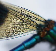 Damsel Fly Detail by Gethin Thomas