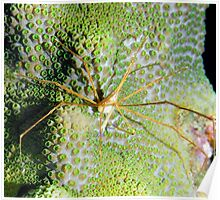 Arrow Crab on Green Star Coral Poster