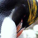 Macaroni Penguin by Jem Wright