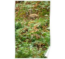 Roe deers in the fern Poster