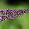 Butterfly Bush by Mac Reddin
