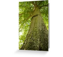 Worm's eye view of a beech tree Greeting Card